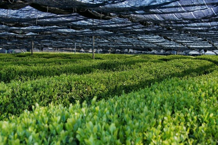 Matcha tea plants are shaded with a canopy during the last weeks before harvest.
