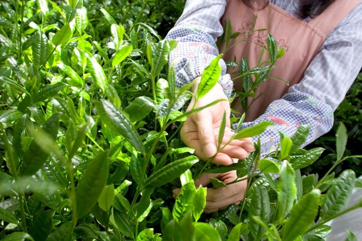 Matcha production only uses the youngest, most tender top leaves which are meticulously picked by hand.